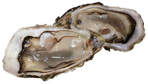 oysters knockout